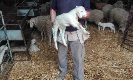 Multi-pocket belt to manage newborn lambs