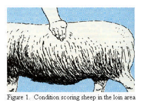 Body condition scoring ewes