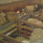 Flag to identify lambing pen at risk