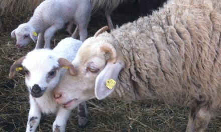 Selecting ewes for temperament