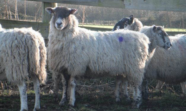 Selecting for fertility, litter size and longevity in big flocks