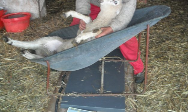 Sledge for weighing and hoof treatment