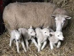 Effetto del numero di nati sulla mortalità degli agnelli