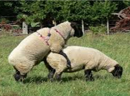 Use of the ram effect to compact the lambing season