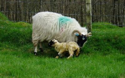 Factors affecting colostrum quality and quantity