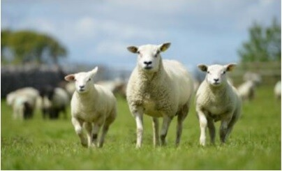 Effect of ewe age on productivity