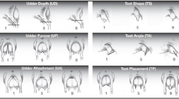 Udder morphology