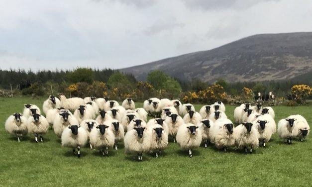 Lamb Vigor Improves Lamb Survival
