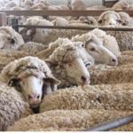 Avustralya Koyun Yetiştiriciliginden Ögrendiklerimiz
