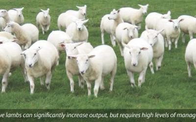 Ewe lamb reproduction