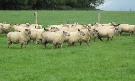 Breed differences in ewe lamb management