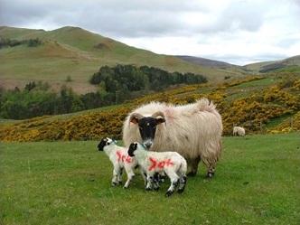 Biology of the ewe_lamb bond