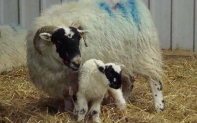 Reducing lamb mortality