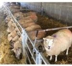 Nutrition of gestating ewes