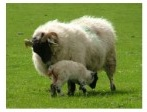 Managing lambs birth weight