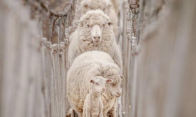Technical note on ewe nutrition