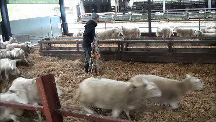 Isolating ewes at lambing in the shed