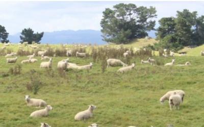 Lezioni dal sistema ovino neozelandese