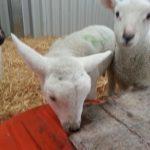 Un-weaned lambs creed feeding