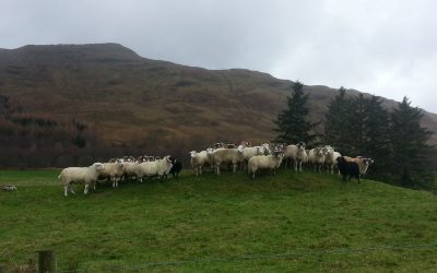 How to establish the proper ram: ewe ration in the flock