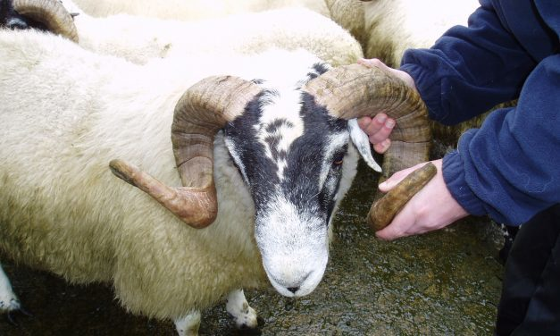 Ram management during reproduction season