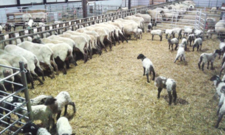 Sheep reproduction – management practices and techniques