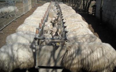 Monitoraggio dello stato corporeo delle pecore in gravidanza