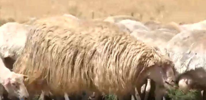 Use of unshorn rams