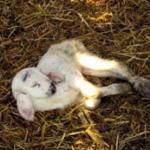 Lamb vigour