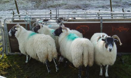 Body weight targets and reproduction outputs in dairy sheep